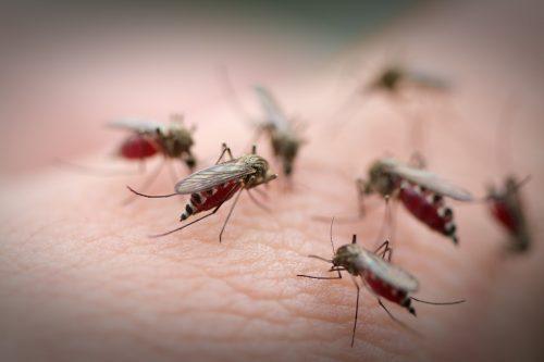 """Muỗi vằn là """"thủ phạm"""" chính gây ra bệnh sốt xuất huyết"""