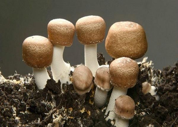 Chiết xuất từ nấm Agaricus có đặc tính diệt khuẩn, hỗ trợ kháng tế bào ung thư