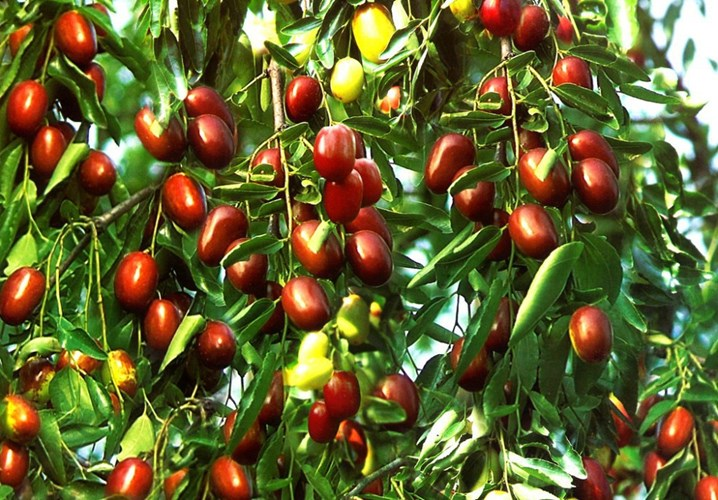 Đại táo là cây có xuất sứ từ Trung Quốc