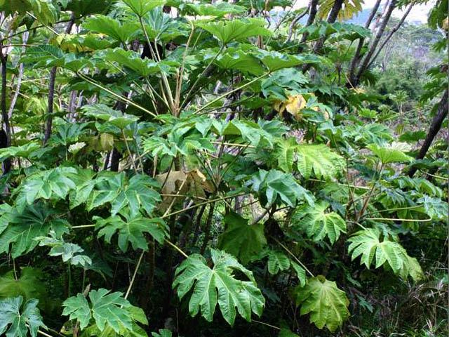 Mẹo chữa bệnh bằng cây thảo dược Thông thảo