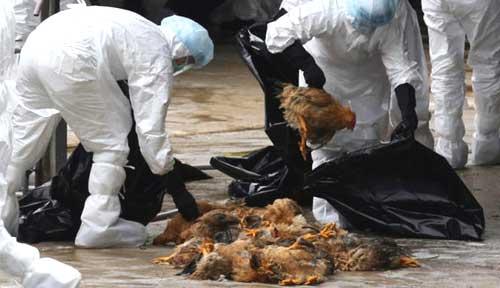 Tiêu hủy, vệ sinh chuồng trại đúng cách để ngăn ngừa dịch bệnh H5N6 bùng phát